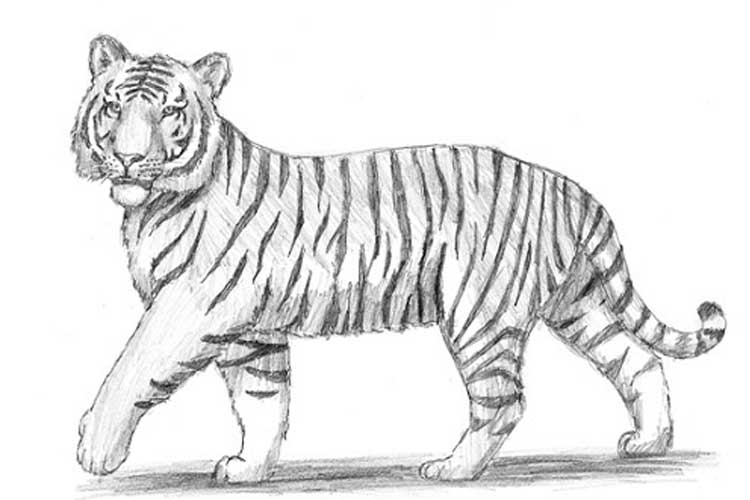 how to draw a tiger step by step with pencil