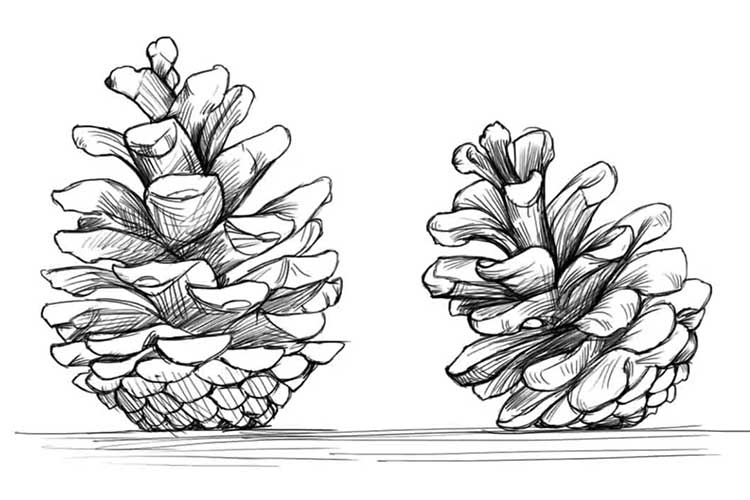 Pine cone drawings