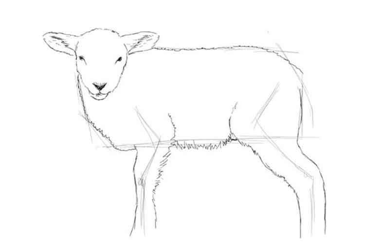 How to draw a lamb