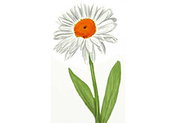 How to draw a realistic daisy