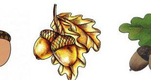 acorn drawing