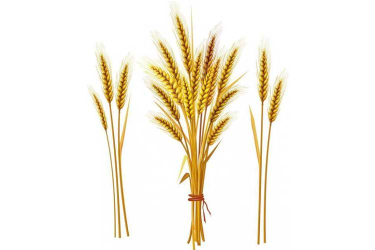 Wheat Drawing Easy
